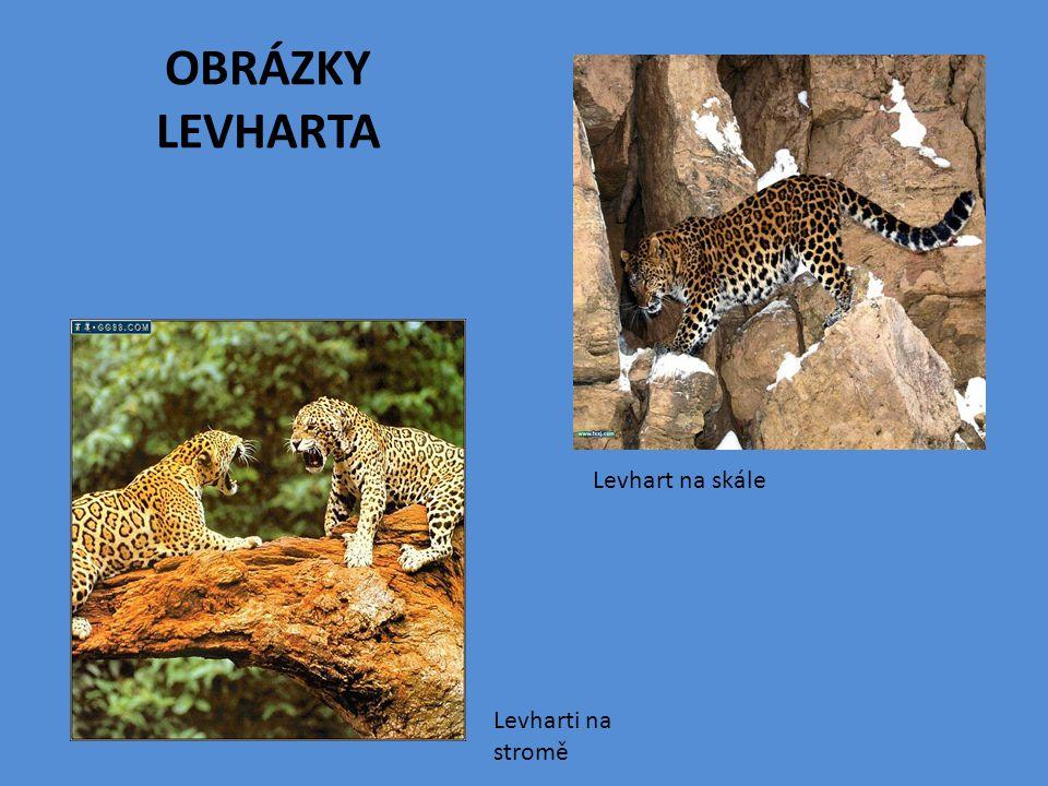 Levharti na stromě Levhart na skále OBRÁZKY LEVHARTA