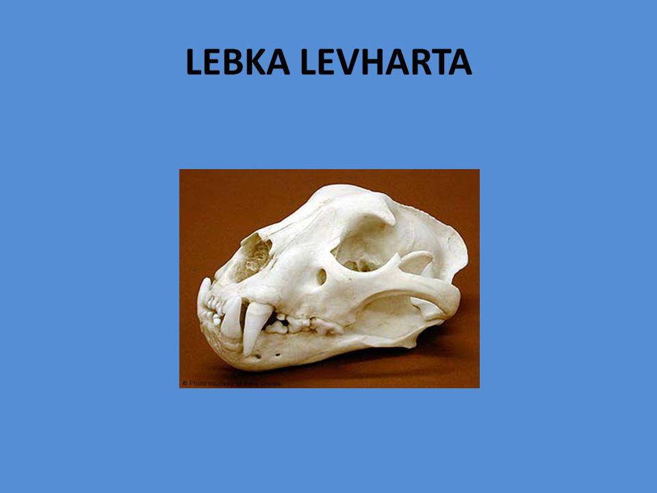 LEBKA LEVHARTA
