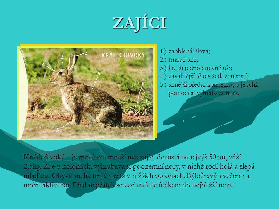 ZAJÍCI 1.) zaoblená hlava; 2.) tmavé oko; 3.) kratší jednobarevné uši; 4.) zavalitější tělo s šedavou srstí; 5.) silnější přední končetiny, s jejichž