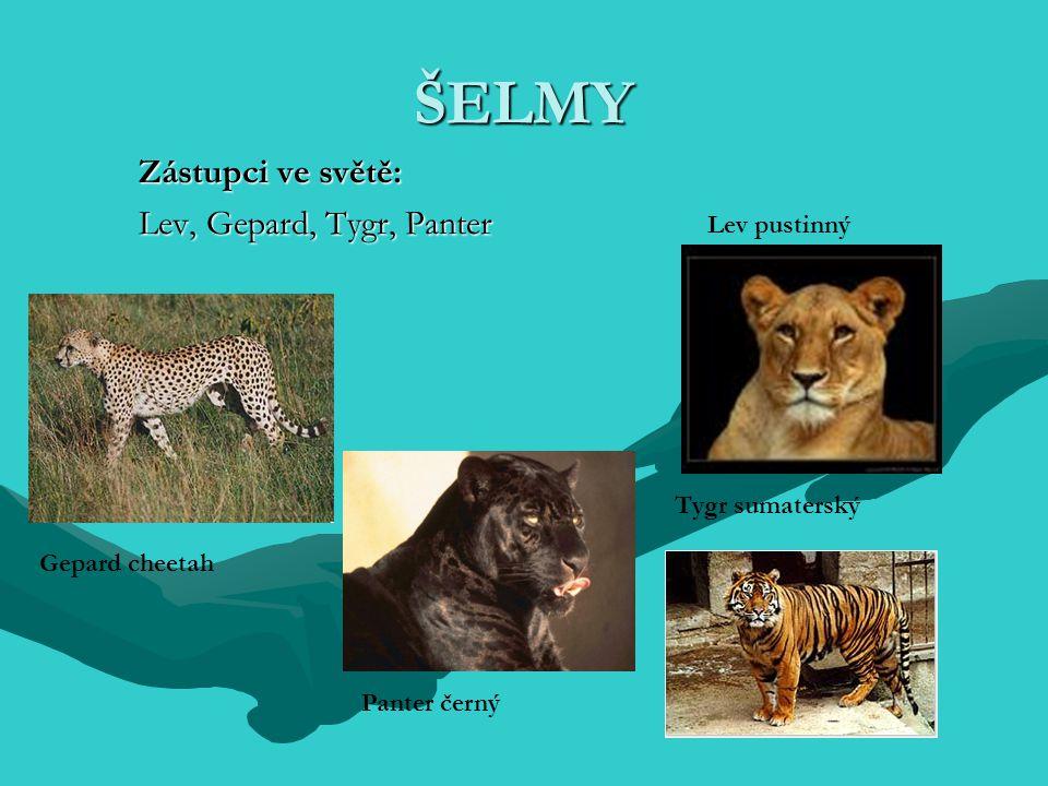 Zástupci ve světě: Lev, Gepard, Tygr, Panter ŠELMY Gepard cheetah Lev pustinný Tygr sumaterský Panter černý