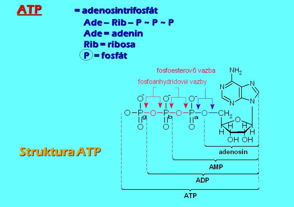 ATP = adenosintrifosfát Ade – Rib – P ~ P ~ P Ade = adenin Rib = ribosa P = fosfát Struktura ATP