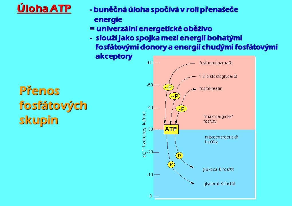 Úloha ATP - bun ěč ná úloha spo č ívá v roli p ř enaše č e energie = univerzální energetické ob ě živo - slouží jako spojka mezi energií bohatými fosf