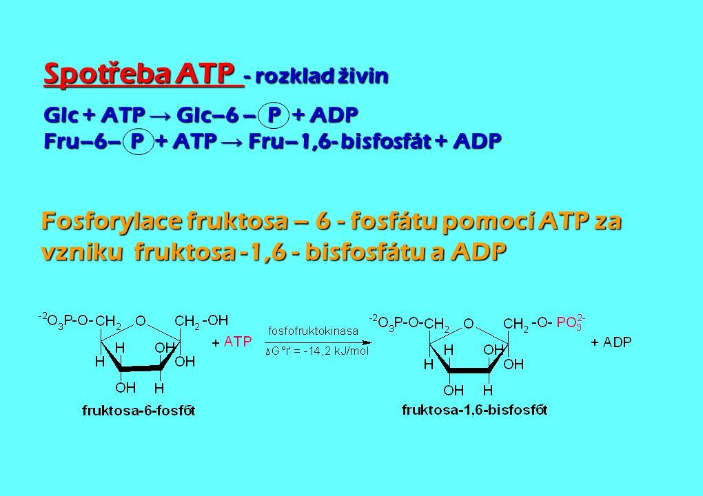 Spot ř eba ATP - rozklad živin Glc + ATP → Glc–6 – P + ADP Fru–6– P + ATP → Fru–1,6- bisfosfát + ADP Fosforylace fruktosa – 6 - fosfátu pomocí ATP za