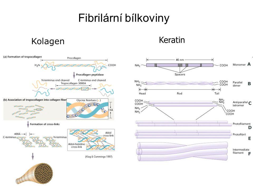 Keratin Fibrilární bílkoviny Kolagen