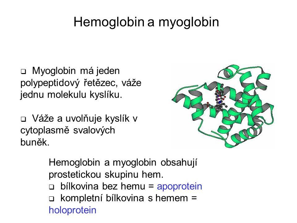  Myoglobin má jeden polypeptidový řetězec, váže jednu molekulu kyslíku.  Váže a uvolňuje kyslík v cytoplasmě svalových buněk. Hemoglobin a myoglobin
