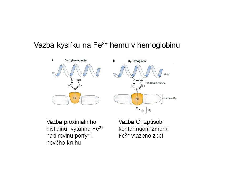 Vazba kyslíku na Fe 2+ hemu v hemoglobinu Vazba O 2 způsobí konformační změnu Fe 2+ vtaženo zpět Vazba proximálního histidinu vytáhne Fe 2+ nad rovinu