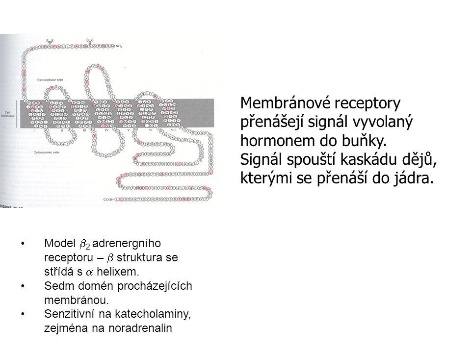 Model  2 adrenergního receptoru –  struktura se střídá s  helixem. Sedm domén procházejících membránou. Senzitivní na katecholaminy, zejména na nor