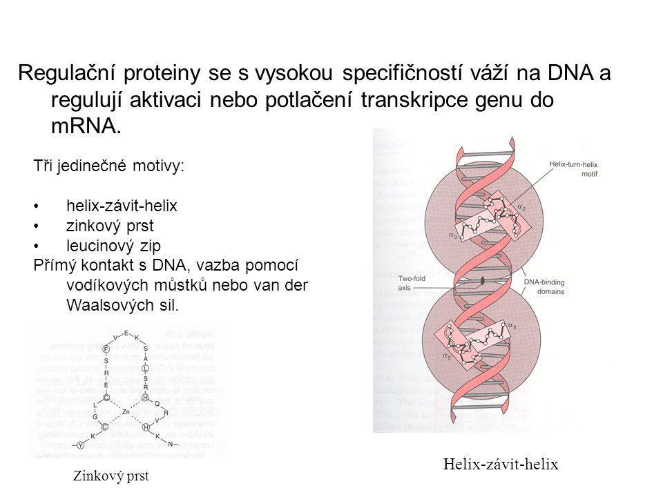 Proteiny regulace transkripce DNA Regulační proteiny se s vysokou specifičností váží na DNA a regulují aktivaci nebo potlačení transkripce genu do mRN
