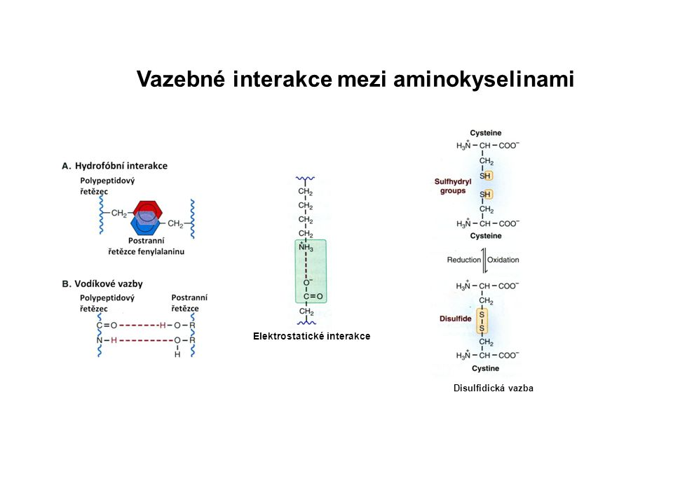 Vazebné interakce mezi aminokyselinami Elektrostatické interakce Disulfidická vazba