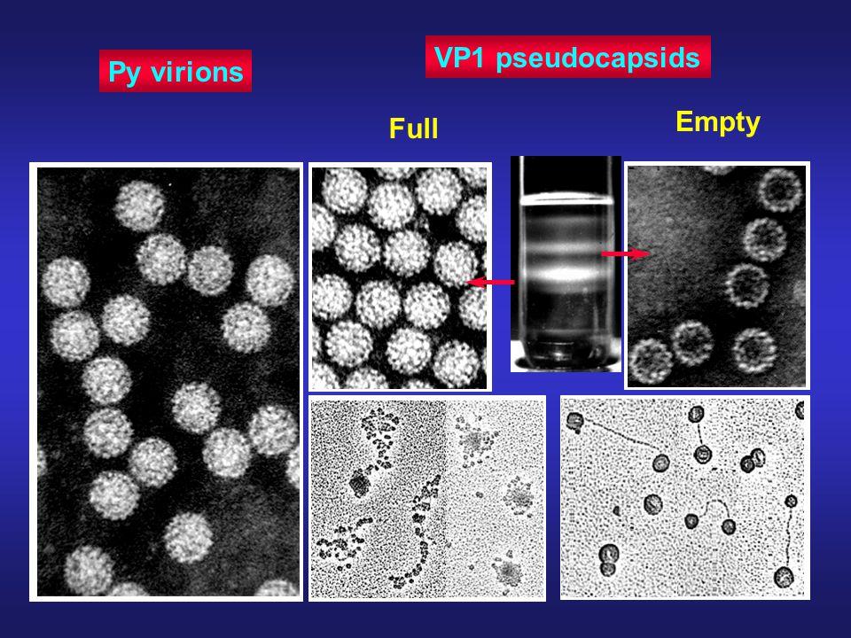 Py virions VP1 pseudocapsids Full Empty