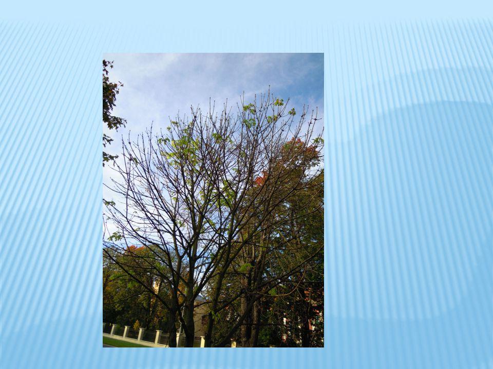  Klíněnka se u nás pokusila rozšířit i na jiné druhy dřevin, jako jsou javory, vrby apod., ale zatím větší škody nepůsobí.