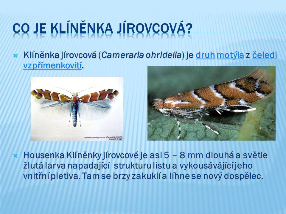  Klíněnka jírovcová (Cameraria ohridella) je druh motýla z čeledi vzpřímenkovití. druhmotýlačeledi vzpřímenkovitídruhmotýlačeledi vzpřímenkovití  Ho