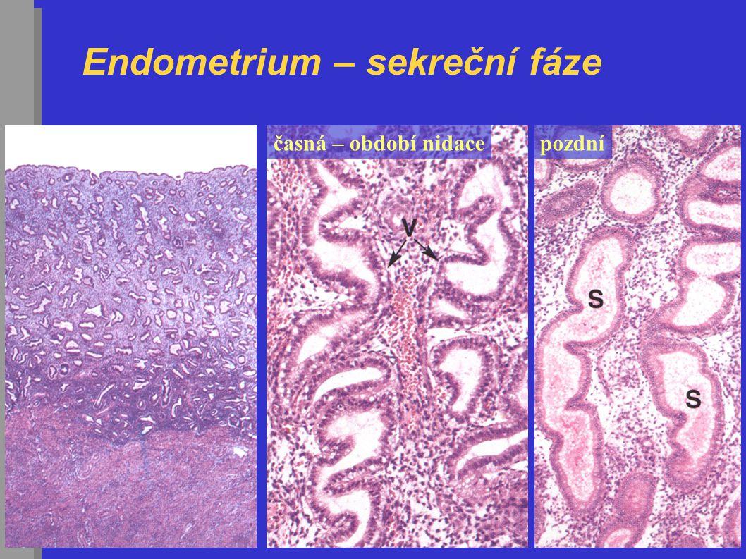 Endometrium – sekreční fáze časná – období nidacepozdní