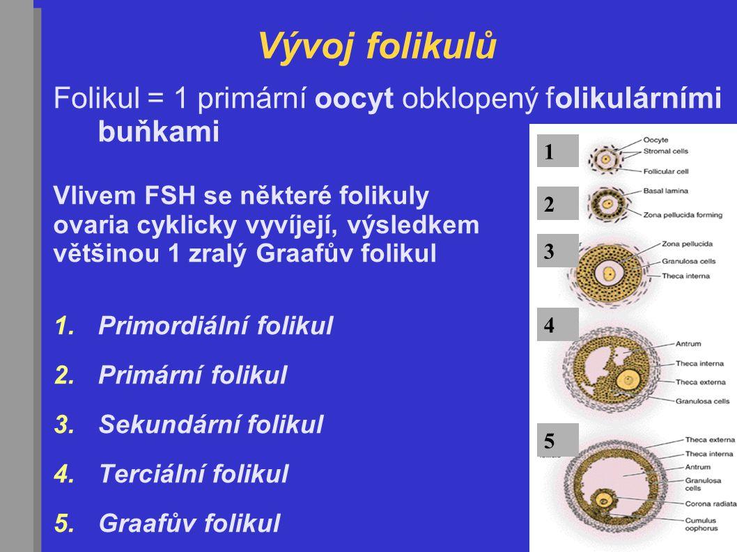 Vývoj folikulů Folikul = 1 primární oocyt obklopený folikulárními buňkami Vlivem FSH se některé folikuly ovaria cyklicky vyvíjejí, výsledkem většinou