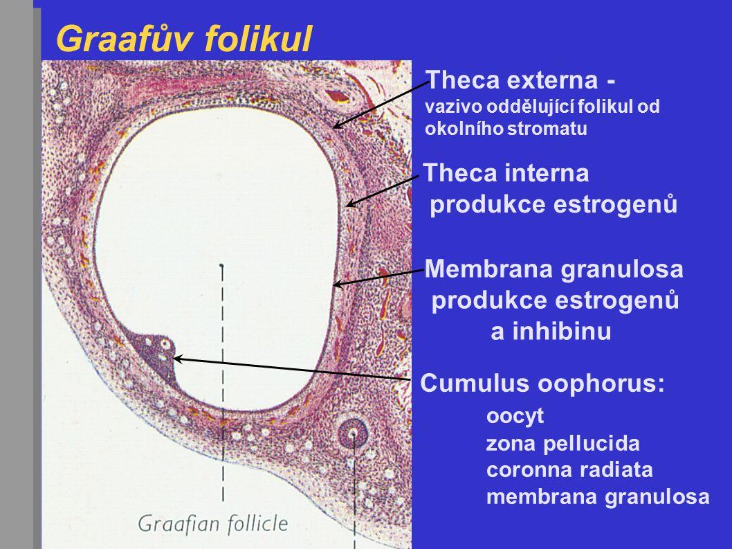 Graafův folikul Velikost = 1,5 cm Z okolního stromatu plně vyvinuté obaly  theca foliculi externa - vazivové buňky  theca foliculi interna - epitelo