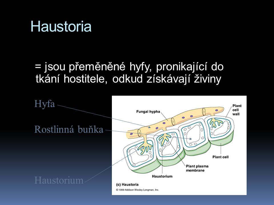 Haustoria = jsou přeměněné hyfy, pronikající do tkání hostitele, odkud získávají živiny Hyfa Rostlinná buňka Haustorium