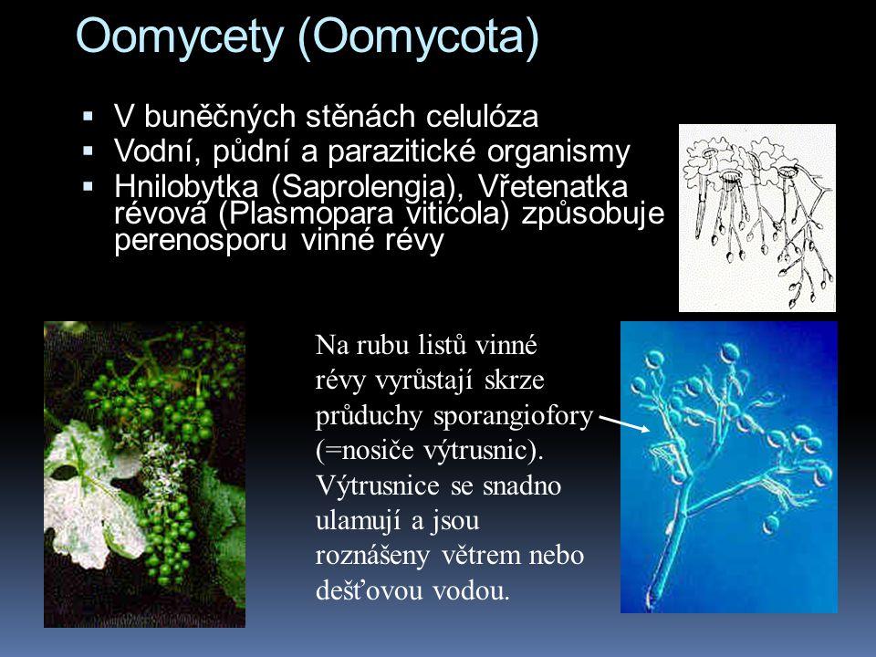 Oomycety (Oomycota)  V buněčných stěnách celulóza  Vodní, půdní a parazitické organismy  Hnilobytka (Saprolengia), Vřetenatka révová (Plasmopara vi