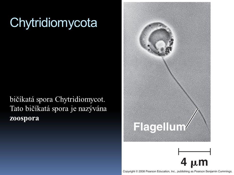 Chytridiomycota bičíkatá spora Chytridiomycot. Tato bičíkatá spora je nazývána zoospora
