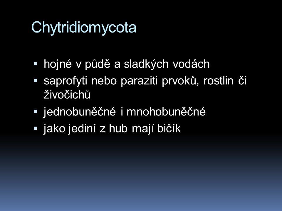 Chytridiomycota  hojné v půdě a sladkých vodách  saprofyti nebo paraziti prvoků, rostlin či živočichů  jednobuněčné i mnohobuněčné  jako jediní z