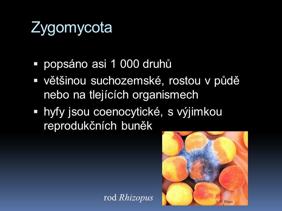 Zygomycota  popsáno asi 1 000 druhů  většinou suchozemské, rostou v půdě nebo na tlejících organismech  hyfy jsou coenocytické, s výjimkou reproduk