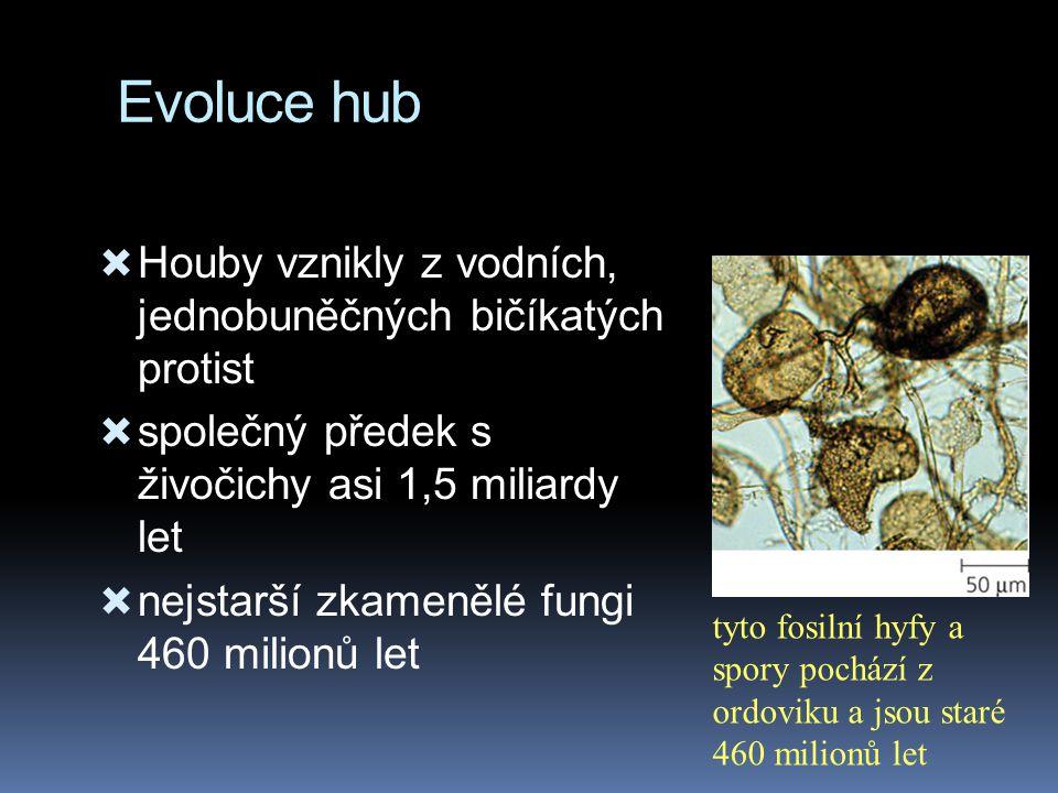 Evoluce hub  Houby vznikly z vodních, jednobuněčných bičíkatých protist  společný předek s živočichy asi 1,5 miliardy let  nejstarší zkamenělé fung