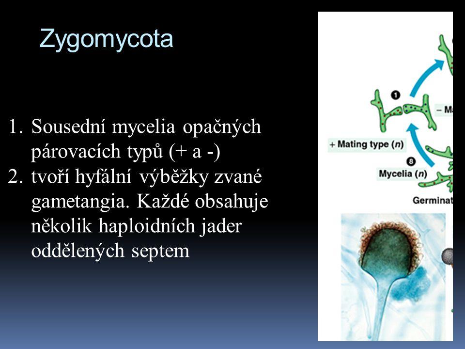 1.Sousední mycelia opačných párovacích typů (+ a -) 2.tvoří hyfální výběžky zvané gametangia. Každé obsahuje několik haploidních jader oddělených sept