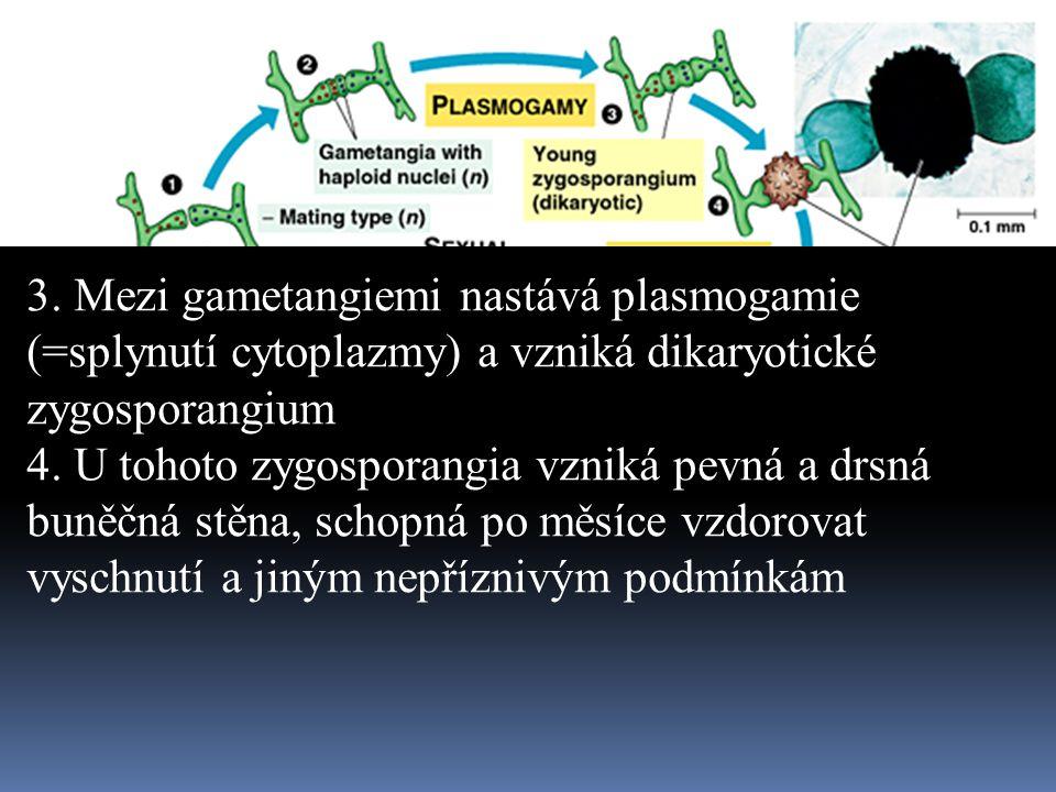 3. Mezi gametangiemi nastává plasmogamie (=splynutí cytoplazmy) a vzniká dikaryotické zygosporangium 4. U tohoto zygosporangia vzniká pevná a drsná bu