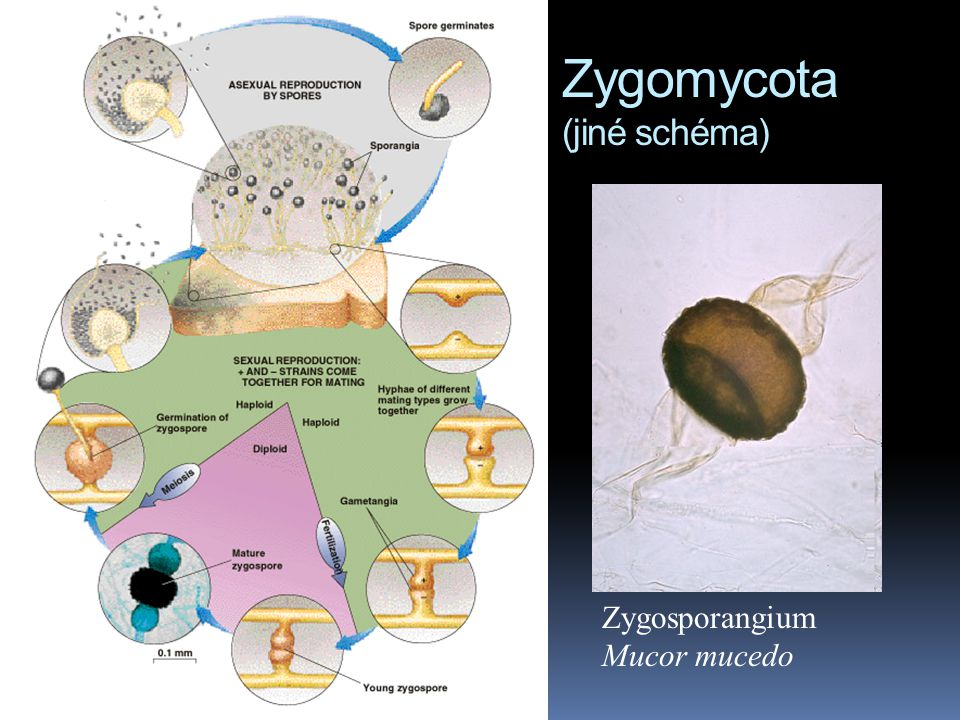 Zygomycota (jiné schéma) Zygosporangium Mucor mucedo