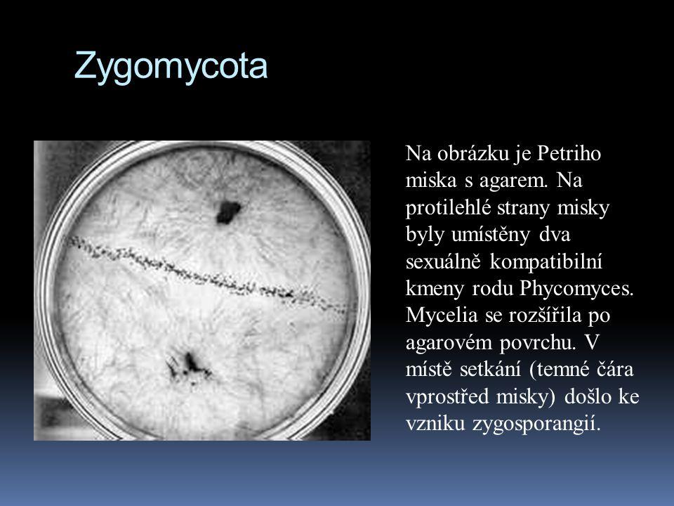 Zygomycota Na obrázku je Petriho miska s agarem. Na protilehlé strany misky byly umístěny dva sexuálně kompatibilní kmeny rodu Phycomyces. Mycelia se