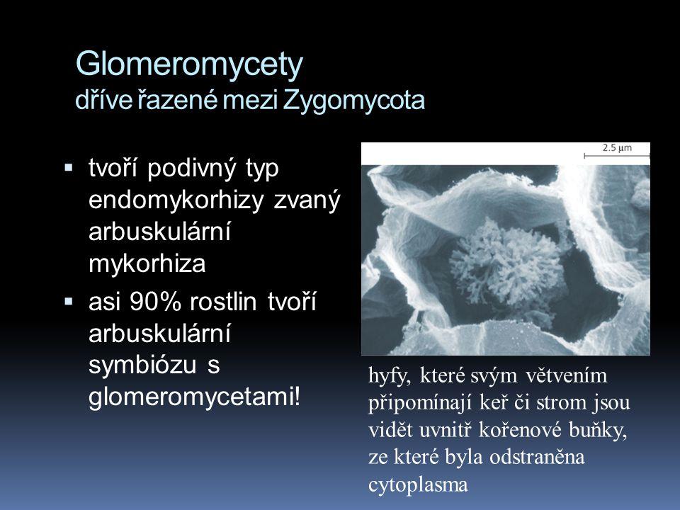 Glomeromycety dříve řazené mezi Zygomycota  tvoří podivný typ endomykorhizy zvaný arbuskulární mykorhiza  asi 90% rostlin tvoří arbuskulární symbióz