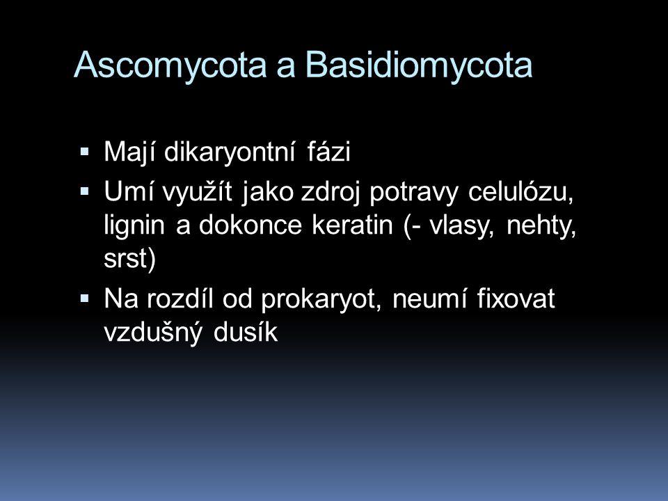 Ascomycota a Basidiomycota  Mají dikaryontní fázi  Umí využít jako zdroj potravy celulózu, lignin a dokonce keratin (- vlasy, nehty, srst)  Na rozd