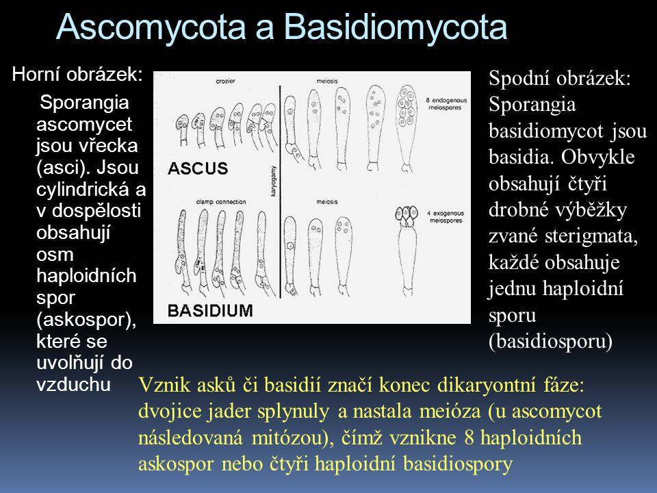 Ascomycota a Basidiomycota Horní obrázek: Sporangia ascomycet jsou vřecka (asci). Jsou cylindrická a v dospělosti obsahují osm haploidních spor (askos