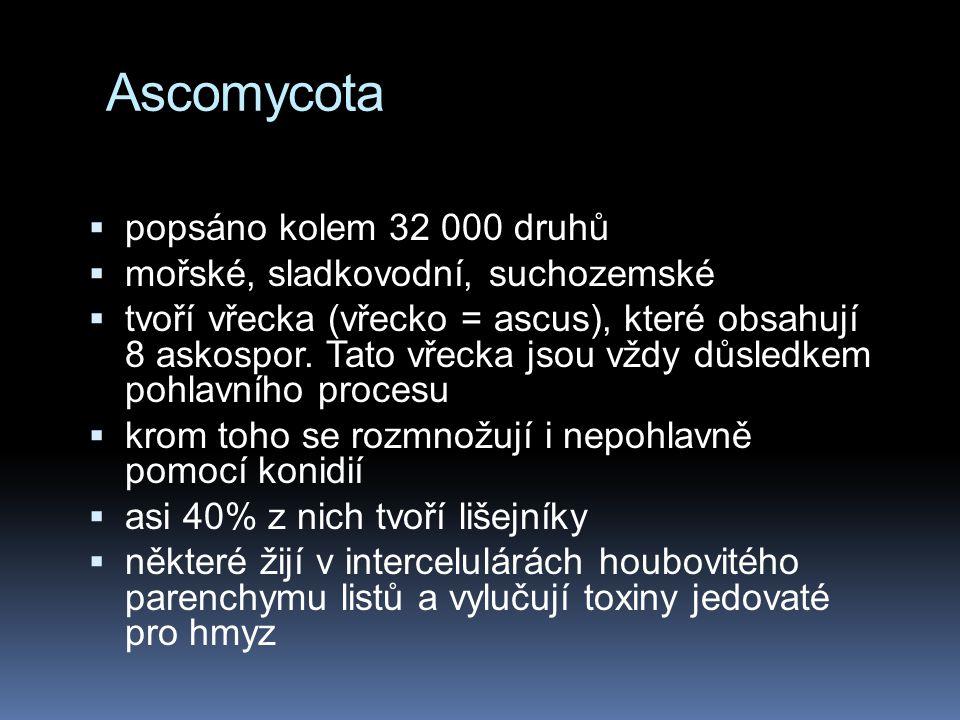 Ascomycota  popsáno kolem 32 000 druhů  mořské, sladkovodní, suchozemské  tvoří vřecka (vřecko = ascus), které obsahují 8 askospor. Tato vřecka jso