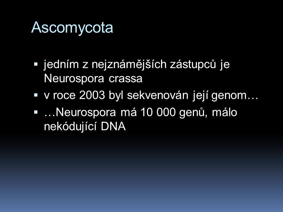Ascomycota  jedním z nejznámějších zástupců je Neurospora crassa  v roce 2003 byl sekvenován její genom…  …Neurospora má 10 000 genů, málo nekódují