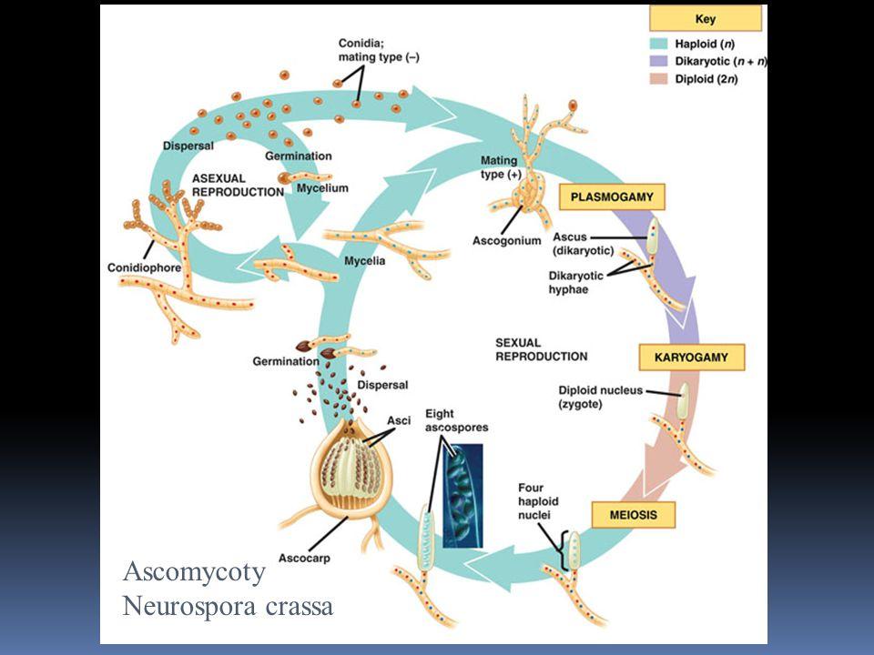 Ascomycoty Neurospora crassa