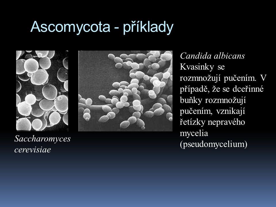 Ascomycota - příklady Saccharomyces cerevisiae Candida albicans Kvasinky se rozmnožují pučením. V případě, že se dceřinné buňky rozmnožují pučením, vz