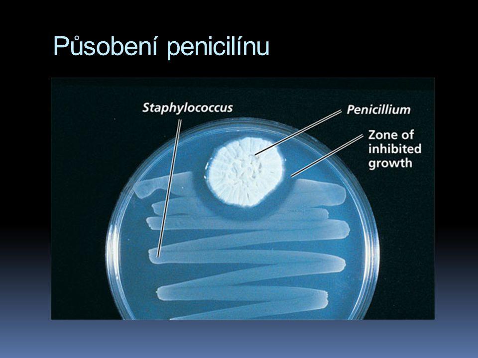 Působení penicilínu