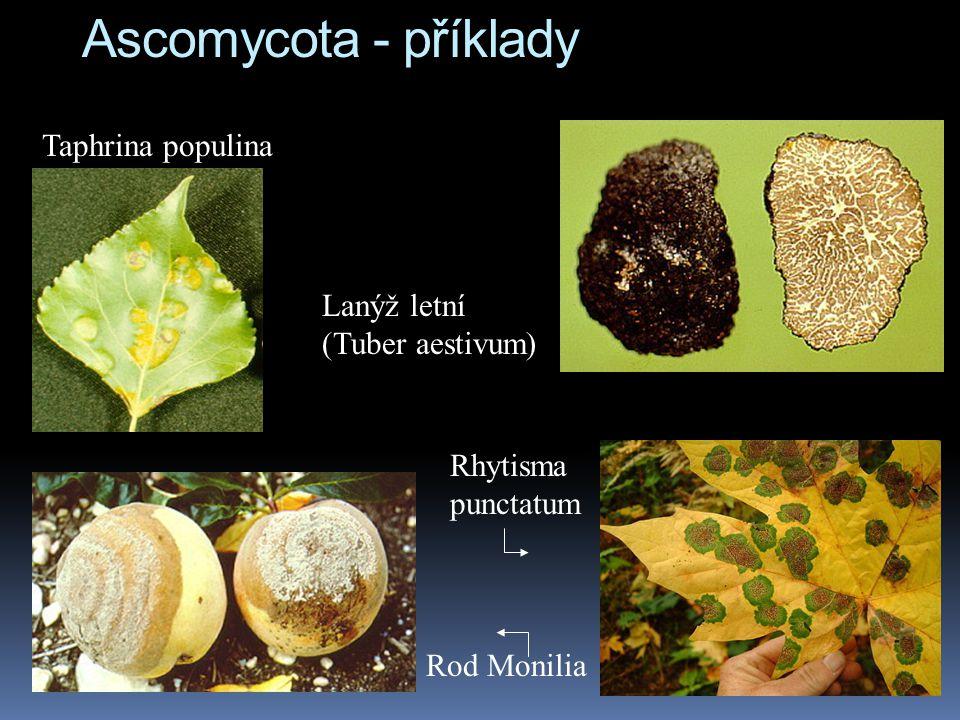 Ascomycota - příklady Taphrina populina Lanýž letní (Tuber aestivum) Rod Monilia Rhytisma punctatum