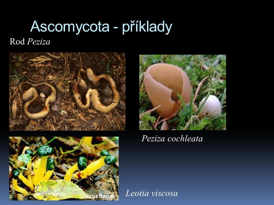 Ascomycota - příklady Rod Peziza Peziza cochleata Leotia viscosa