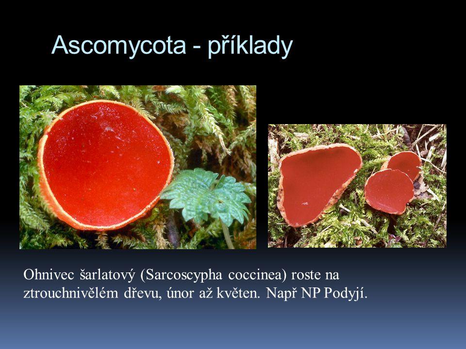 Ascomycota - příklady Ohnivec šarlatový (Sarcoscypha coccinea) roste na ztrouchnivělém dřevu, únor až květen. Např NP Podyjí.