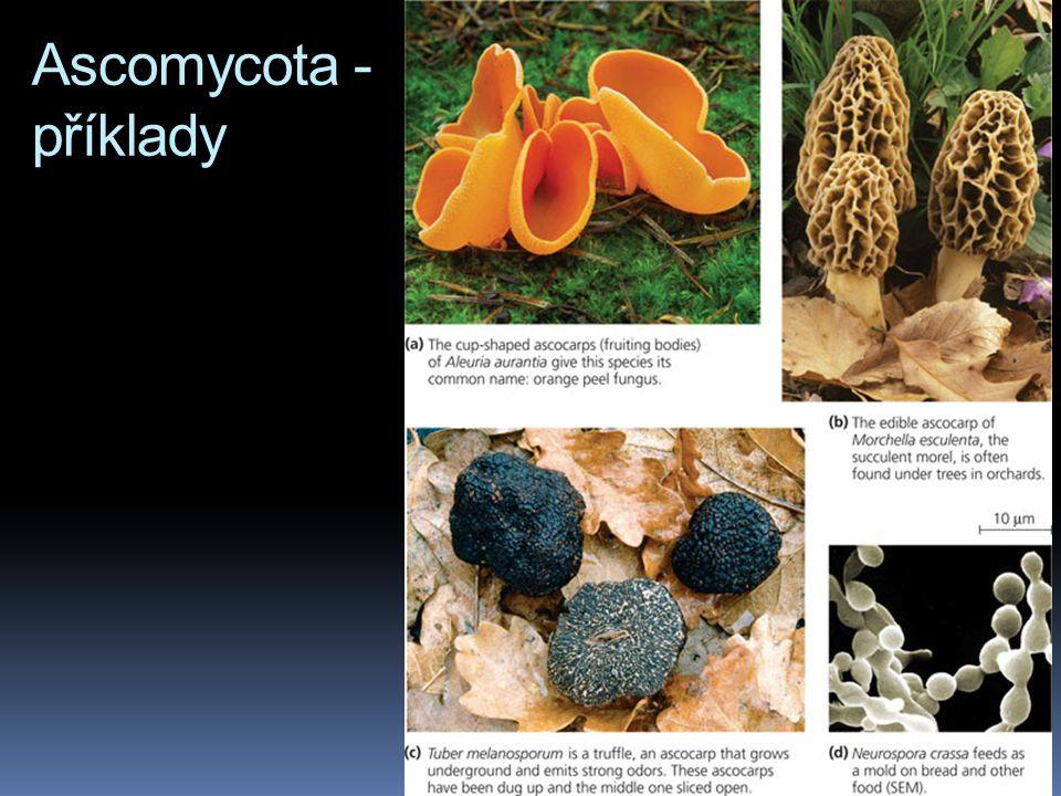 Ascomycota - příklady