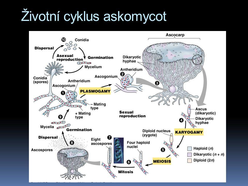 Životní cyklus askomycot