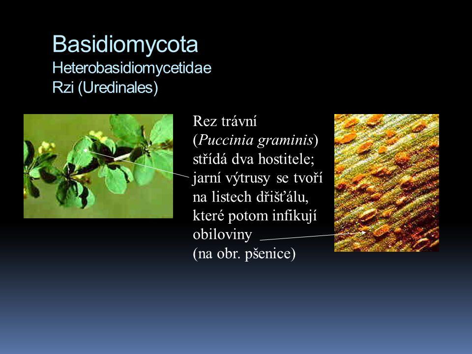 Basidiomycota Heterobasidiomycetidae Rzi (Uredinales) Rez trávní (Puccinia graminis) střídá dva hostitele; jarní výtrusy se tvoří na listech dřišťálu,