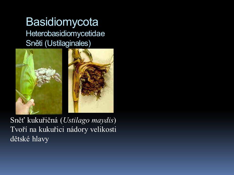 Basidiomycota Heterobasidiomycetidae Sněti (Ustilaginales) Sněť kukuřičná (Ustilago maydis) Tvoří na kukuřici nádory velikosti dětské hlavy