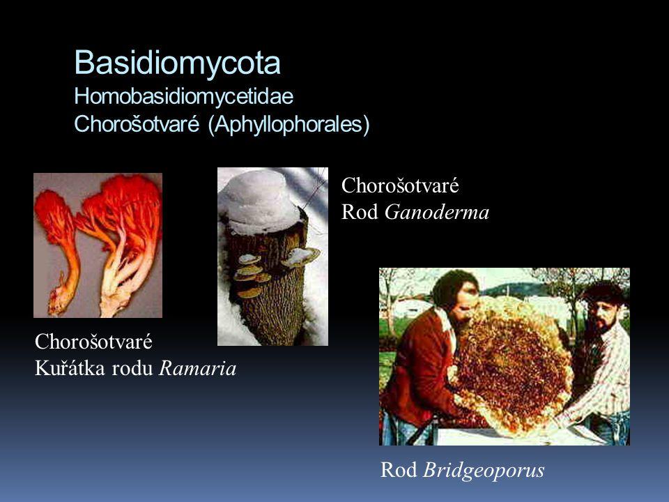 Basidiomycota Homobasidiomycetidae Chorošotvaré (Aphyllophorales) Chorošotvaré Kuřátka rodu Ramaria Chorošotvaré Rod Ganoderma Rod Bridgeoporus