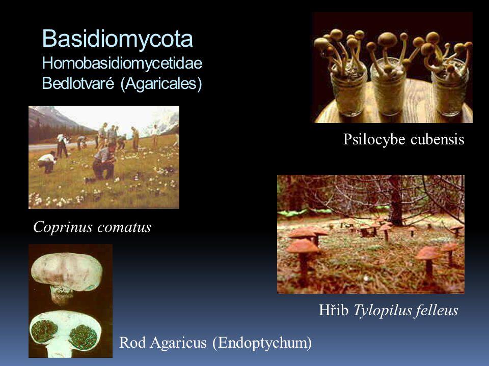 Basidiomycota Homobasidiomycetidae Bedlotvaré (Agaricales) Psilocybe cubensis Coprinus comatus Rod Agaricus (Endoptychum) Hřib Tylopilus felleus