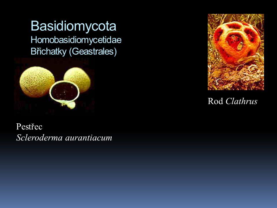 Basidiomycota Homobasidiomycetidae Břichatky (Geastrales) Pestřec Scleroderma aurantiacum Rod Clathrus