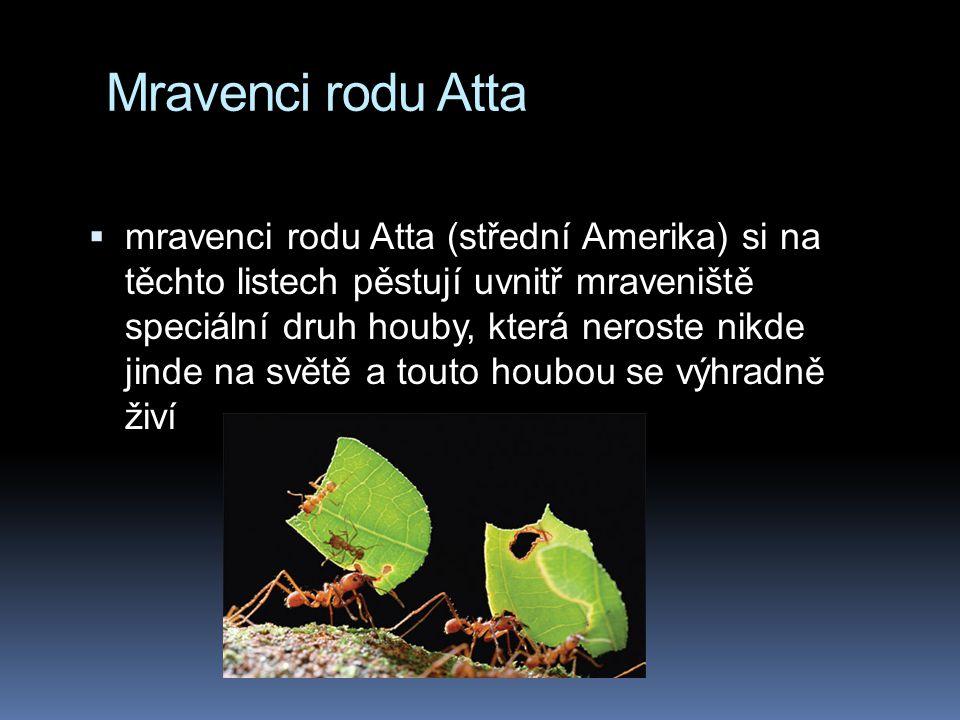 Mravenci rodu Atta  mravenci rodu Atta (střední Amerika) si na těchto listech pěstují uvnitř mraveniště speciální druh houby, která neroste nikde jin