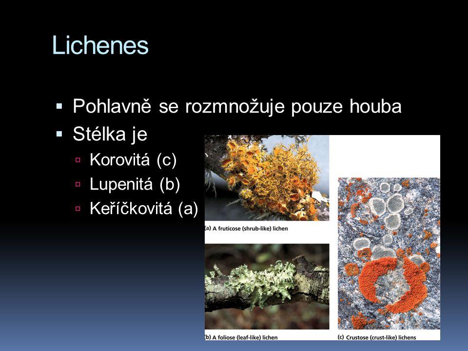 Lichenes  Pohlavně se rozmnožuje pouze houba  Stélka je  Korovitá (c)  Lupenitá (b)  Keříčkovitá (a)