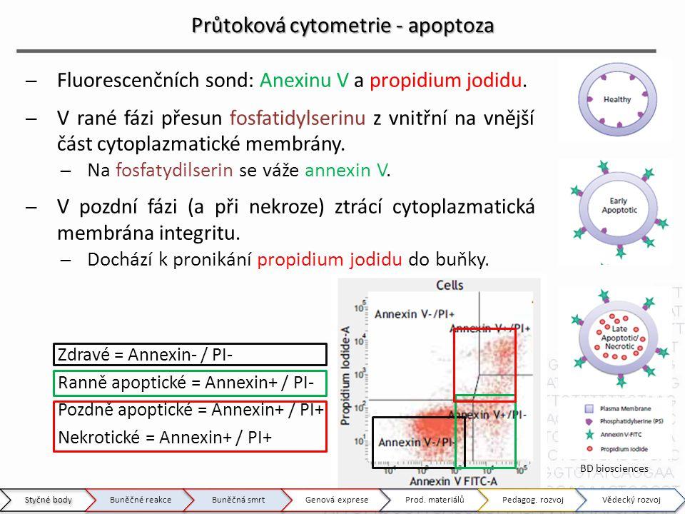 Zdravé = Annexin- / PI- Ranně apoptické = Annexin+ / PI- Pozdně apoptické = Annexin+ / PI+ Nekrotické = Annexin+ / PI+ Průtoková cytometrie - apoptoza ̶Fluorescenčních sond: Anexinu V a propidium jodidu.